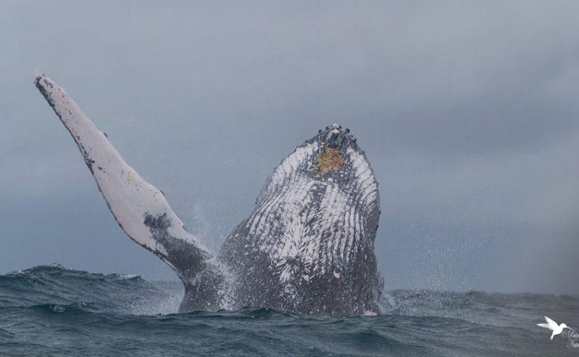 Baleine à bosse (Megaptera novaeangliae),âu large de l'île de Sainte-Marie, Madagascar, juillet 2015