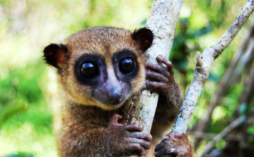 Cheirogaleus grovesi une nouvelle espèce de lémurien découverte à Madagascar