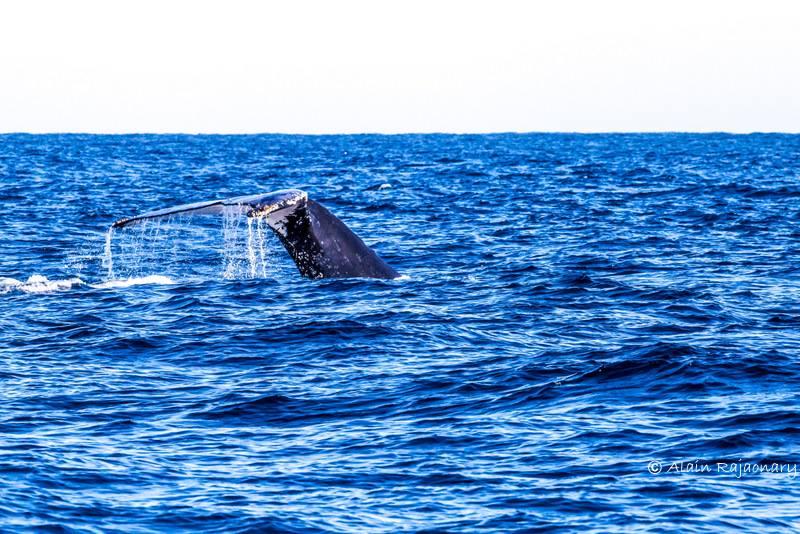 Festival des baleines à sainte-marie madagascar
