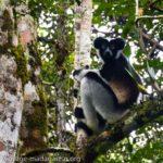 Indri Indri de Madagascar