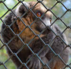 Lémur à ventre roux
