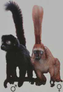 Lémur aux yeux turquoi ou mangamaso