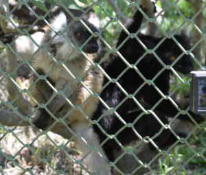 Lémurs Macaco