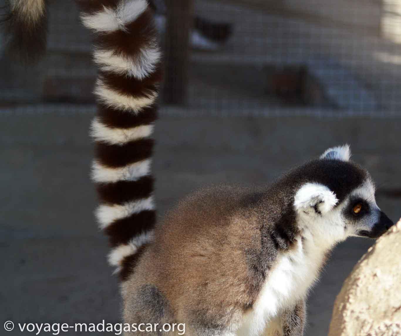 Maki de Madagascar