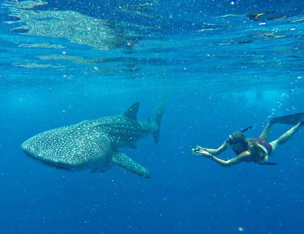 Photographier des requins-baleines