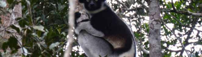 Rencontrer un babakoto est l'une des raisons de visiter Madagascar