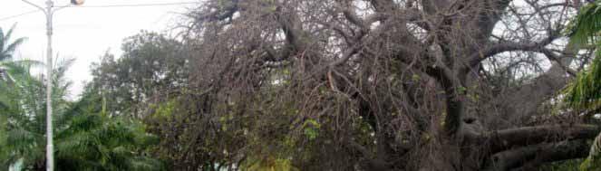 le grand baobab au bord de la mer de majunga