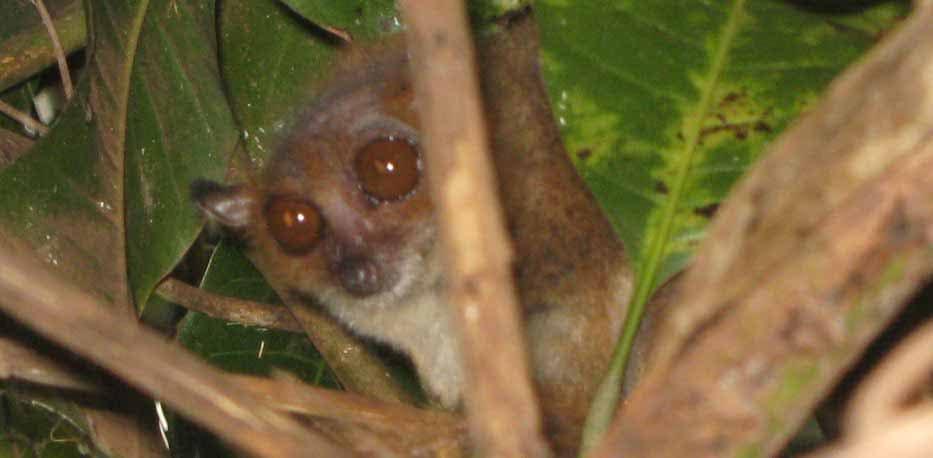Le lémur Hapalemur aureus de Madagascar