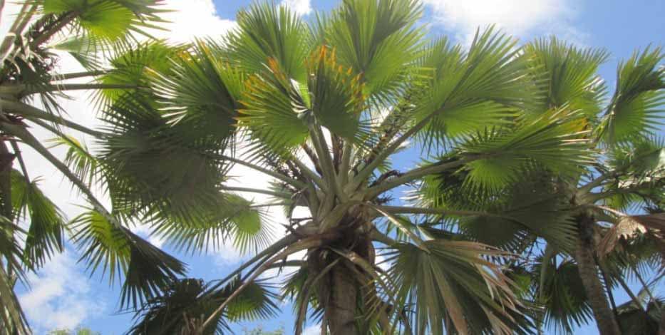 Palmerai de Madagascar