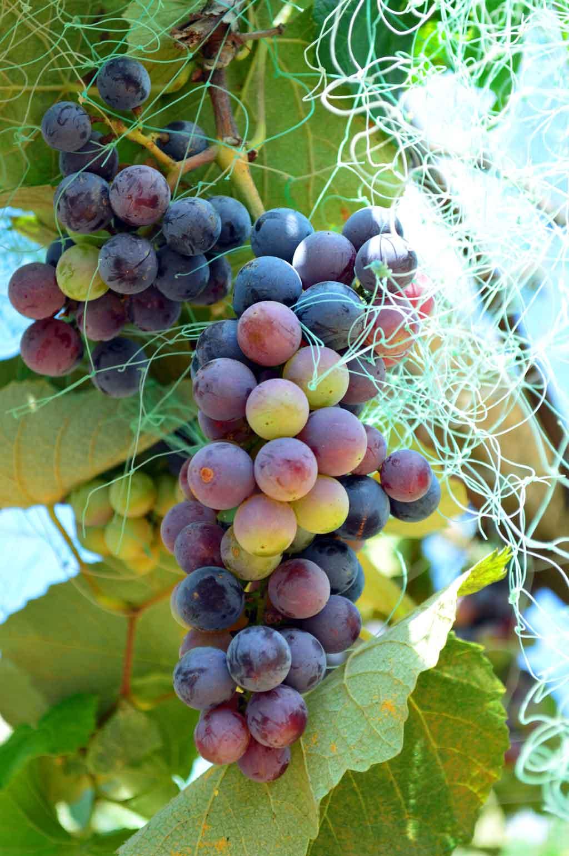 Viticulture malgache